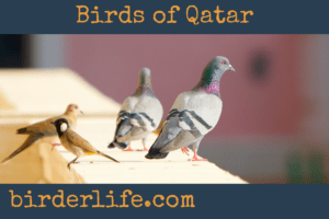 birds-of-qatar