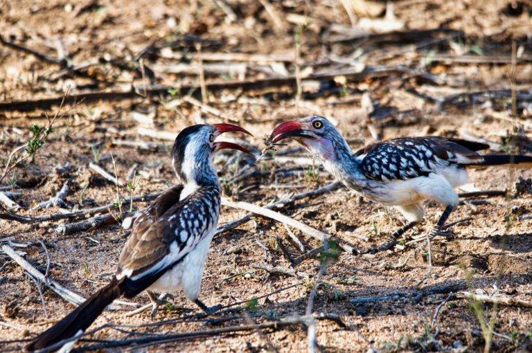 southern-red-billed-hornbill