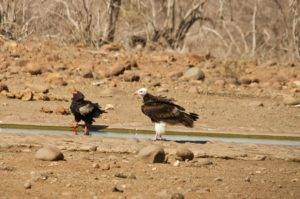 bateleur-and-white-headed-vulture