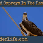 What! Ospreys In The Desert?