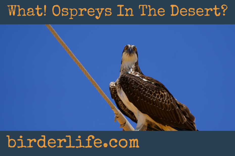 What!-Ospreys-In-The-Desert?