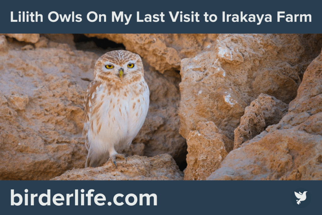 Lilith Owls On My Last Visit to Irakaya Farm